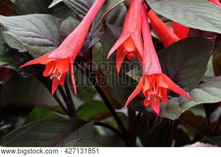 Closeup Of Red Trumpet Like Fuchsia Flowers