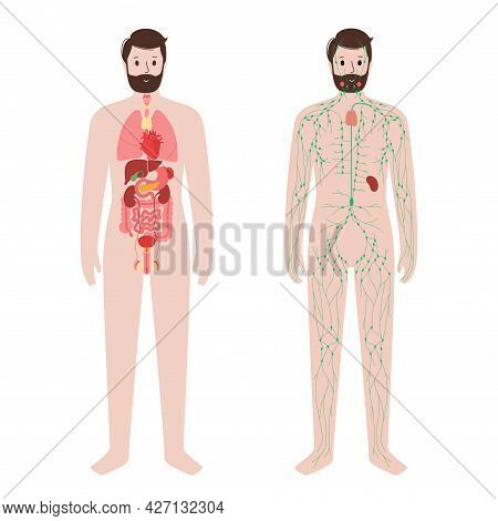 Internal Organs And Lymphatic System In Human Body. Thymus, Spleen And Lymph Nodes And Ducts In Male