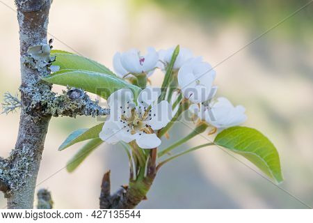 Pear Blossom On The Tree Growing In Spring Outdoors Pyrus Comunis