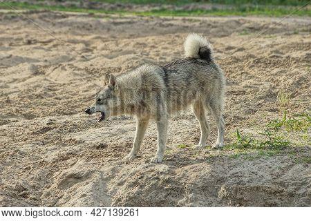 One Big Angry Aggressive Gray Husky Dog Stands Outside On The Sand And Barks