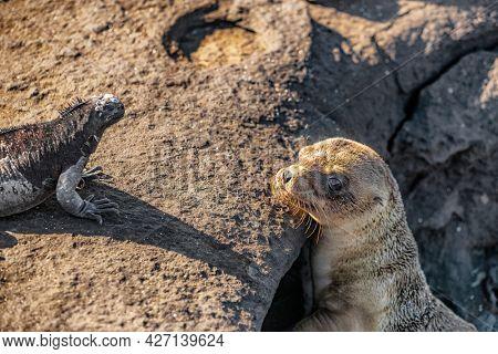 Galapagos animals. Galapagos Sea Lion pup looking at marine iguana. funny cute animals. on Galapagos Islands, Ecuador.