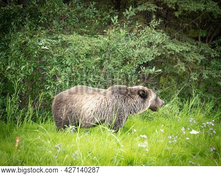Young Grizzly Bear Portrait Captured From Short Distance, Shot In Canadian Rockies, Kananaskis Count