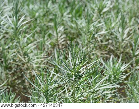 Sprig Of Rosemary On A Blurred Background, Growing Rosemary