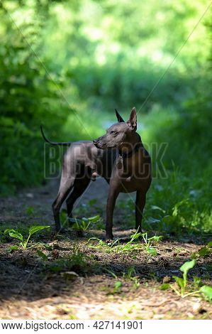 Xoloitzcuintle (mexican Hairless Dog) Standing Free  In Beautifully Sunlit Natural Background Side V