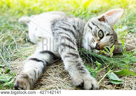 Kitten In The Green Grass. A Small Kitten Lies On The Ground.