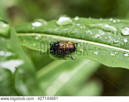June Beetle, An Insect With The Latin Name Amphimallon Solstitiale On A Green Leaf Covered With Rain