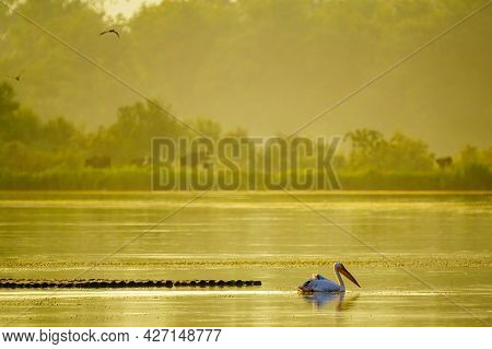 View Of Pelican In The Wetland, With Other Wildlife, In The Hula Nature Reserve, Northern Israel