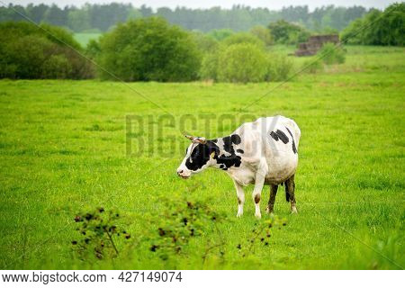 Black And White Cow Eats Fresh Grass On  Grazing On Warm Spring Afternoon. Cattle Farming, Breeding,