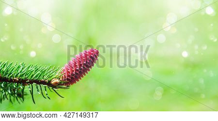 Cute Little Young Bumps On A Spruce Tree. Flowering Branch Of A Fir Tree. Selective Focus.