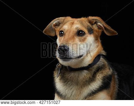 Portrait Mixed Breed Dog On Black Background. Pet Smile In The Photo Studio.