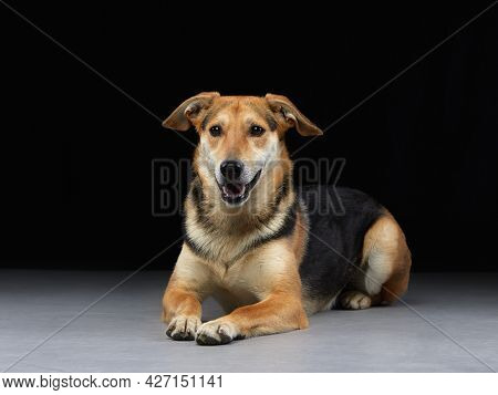 Mixed Breed Dog Lies On The Floor. Pet Smile In The Photo Studio.