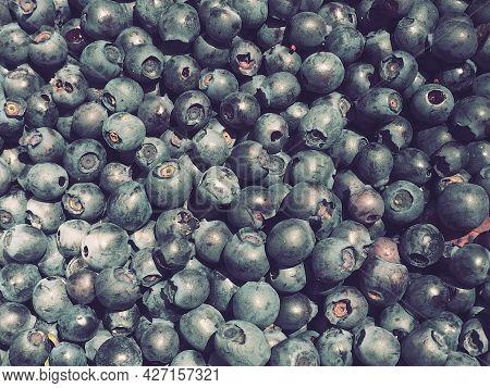 Blueberry, or Blueberry ordinary, or Blueberry myrrheal Vaccinium myrtillus, stunted shrub, family H