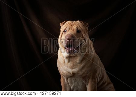 Shar Pei Dog On On A Background Of Brown Fabric. Folds, Wrinkles, Charming Pet