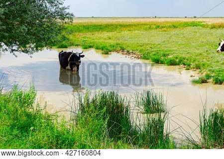 Black And White Cow Is Standing In Pond In The Shade Under A Tree To Cool Down.