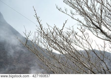 Close Up Dry Branches On White Isolated Sky Background Of Owakudani Hell Valley ,hakone Kami Mountai