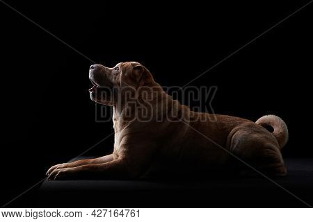 Shar Pei On Black Background. Silhouette Of A Dog. Pet In The Studio