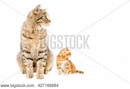 Cat And Kitten Scottish Straight Sitting Together Looking To The Side Isolated On White Background