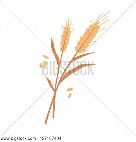 Dry Wheat Spikelets With Ear, Stem And Spike. Botanical Composition Of Farm Cereal Plant And Grains.