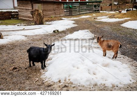 Flock In Sheepfold Or Farm Livestock Pen Of Countryside In Winter Day, Brown And Black Woolly Goats