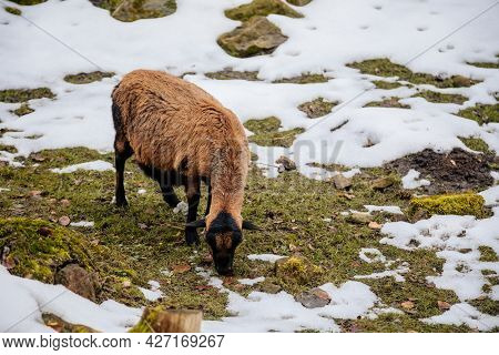 Flock In Sheepfold Or Farm Livestock Pen Of Countryside In Winter Day, Brown Woolly Sheep Standing I