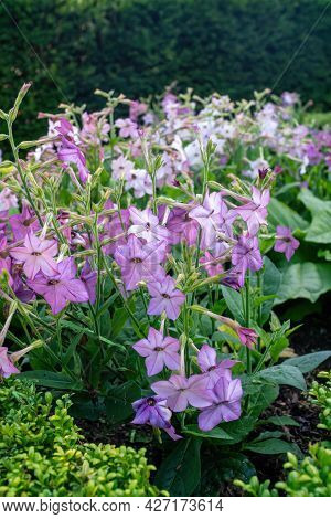Nicotiana Alata Is A Species Of Tobacco. It Is Called Jasmine Tobacco, Sweet Tobacco,winged Tobacco,
