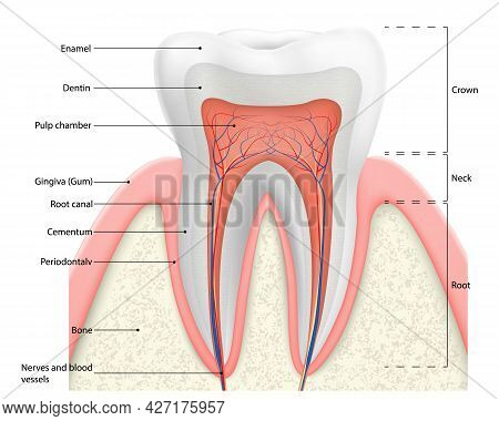 Human Tooth Structure Vector Diagram. Cross Section Scheme Representing Tooth Layers Enamel, Dentine