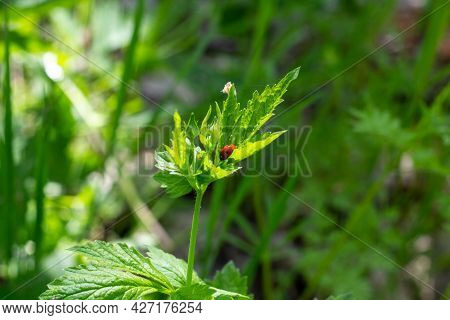 A Ladybug Sits On A Green Leaf On A Sunny Summer Day