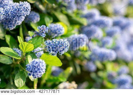 Blooming Purple Californian Lilac Flowers. Ceanothus Thyrsiflorus Blue Flower In The Garden. Copy Sp
