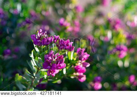 Sweet Pea Bush Petite Butterfly. Purple Flower Polygala Fruticosa Bush.