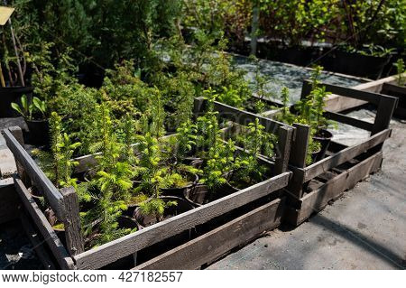 A Row Of Pots With Sprouts Of Coniferous Trees. Agricultural Store