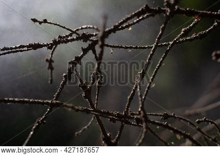The Old Spruce Branches Are Intertwined And Resemble Barbed Wire. Nature Protects Itself From Invasi
