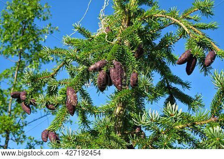 Coniferous Tree With Cones On The Background Of A Clear Blue Sky. Forest. Buds On The Branches. Pine