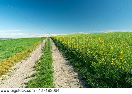 Rural Road And Rape Field On The Hill, Staw, Poland