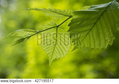 Leaves On A Tree Branch. Background With Green Spring Leaves. Close-up, Green Leaves On A Tree In Th