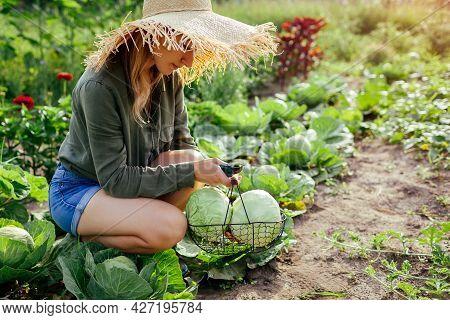 Young Woman Gardener Picking Cabbage In Summer Garden Putting Vegetable Crop In Basket. Organic Vege