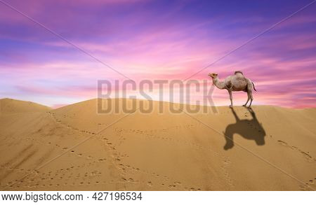 Camel Standing At The Top Of The Sand Dune.  Arabic Camels In Oman Desert Standing In Soft Brown San