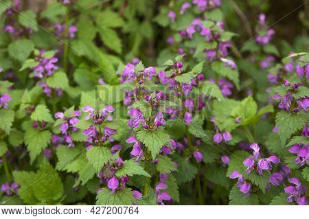 Lamium Purpureum Or Dead Nettle Plant Flowering In A Forest