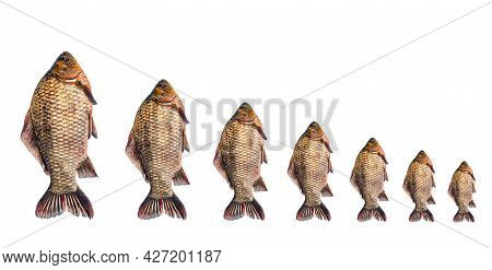 Freshwater Fish Crucian Carp On A White Background.