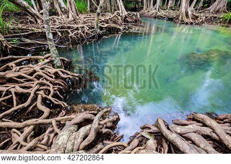 Tropical Tree Roots Or Tha Pom Mangrove In Swamp Forest And Flow Water, Klong Song Nam At Krabi, Tha
