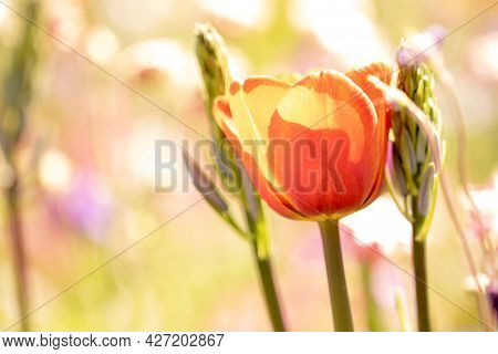 A Portrait Of An Open Red Tullip Next To Two Hyacinth Flowers Which Are Still Growing. The Flower Is