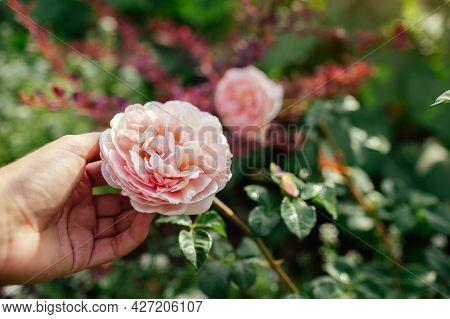 Gardener Holds Pink Rose Abraham Darby Blooming In Summer Garden. English David Austin Selection Ros