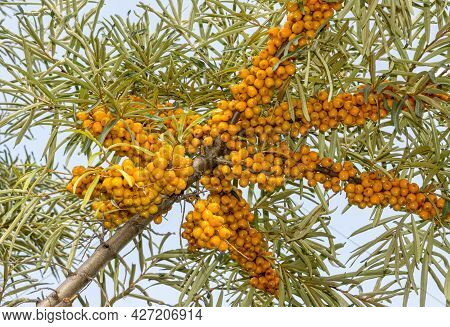 Bunches Of Ripe Berries On Branch Of Sea Buckthorn. Medicinal Plant For Medicine, Healthy Diet, Cosm