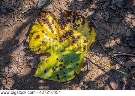 Looking Down On A Flat Tulip Tree Leaf Fallen On The Ground Green Turning Bright Yellow Tattered Wit