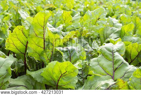Fresh Green Beet Leaves Close-up Growing In The Garden Bed. Beet Foliage Field. Farm Product.