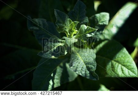 Top View, Looking Down At Flower Stalk, Of The Night Blooming Jasmine Tobacco Plant, Nicotiana Alata