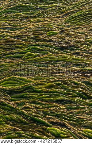 Green Swampy Abstract Texture. View Of Algae And Swamp Close Up. Abstract Vertical Background.