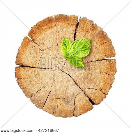 New birth of life concept. Young green fresh leaf growing on tree stump. Eco nature backdrop. Concept of support building a future. Isolated on white background