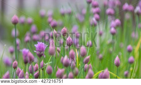 Close up shot of Allium flower buds in the garden