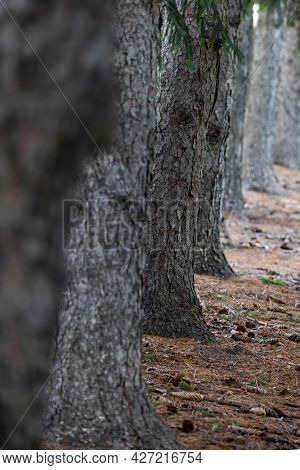 Row of tall coniferous trees with selective focus