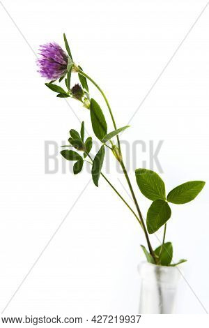 Seasonal European Spring And Summer Flower, Red Clover In A Vase On White Background, Picked In May